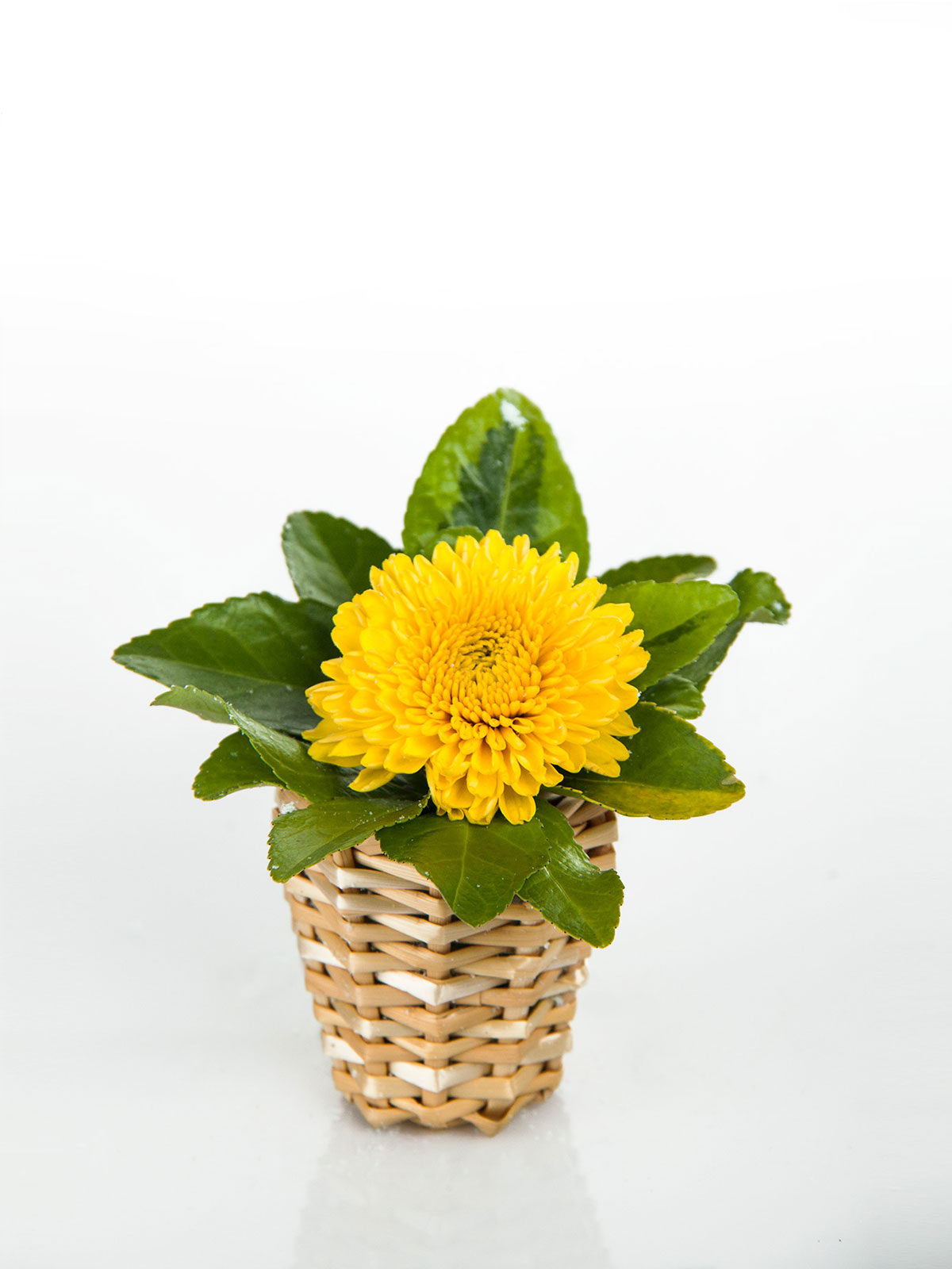 How to make pompomsunflower single bouquet flower boutiques in wild chrysanthemum taxa are floral seasonal plants or subshrubs they have alternately arranged leaves divided into leaflets with toothed or occasionally izmirmasajfo